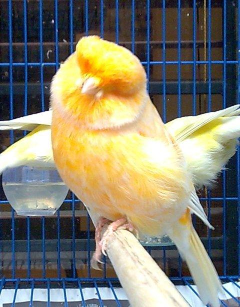 Agung Reza  quot KENARI quot Jenis Burung Kenari