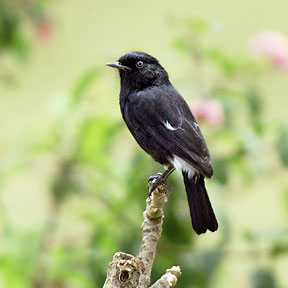 Burung Decu, Burung Petarung yang Kurang diSayang | vdo